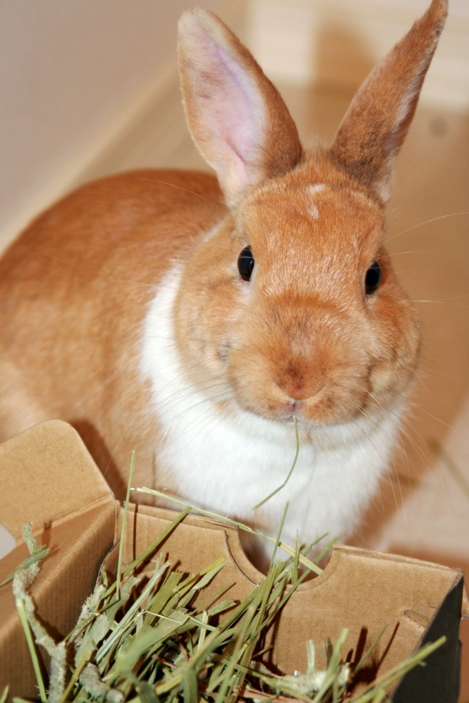 found-rabbit-eating-hay