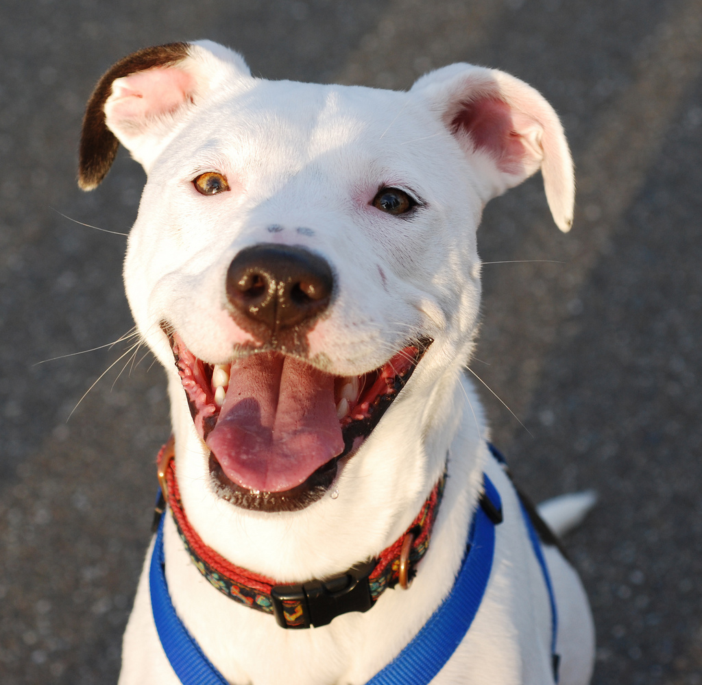 """PETA Joins Forces with Group Working to Kill All """"Pit Bulls"""