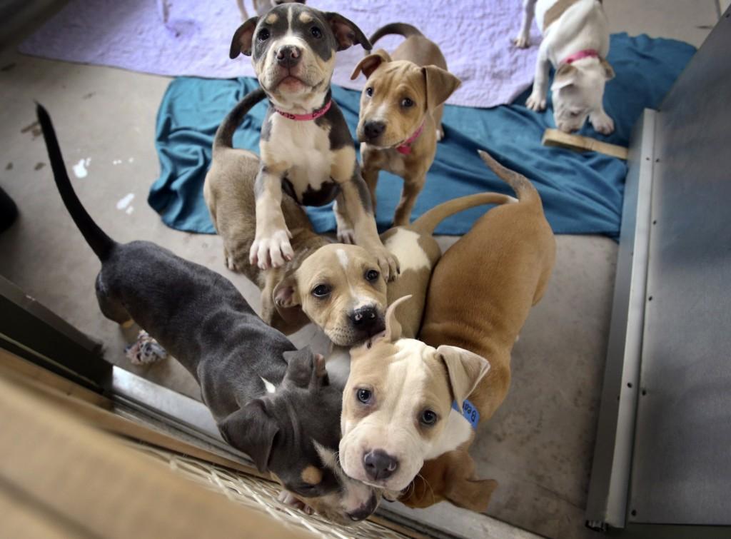 pit pups